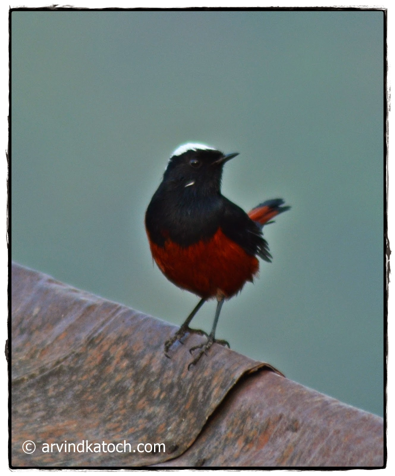White Capped, Redstart
