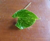 Anthurium plant thrips damage