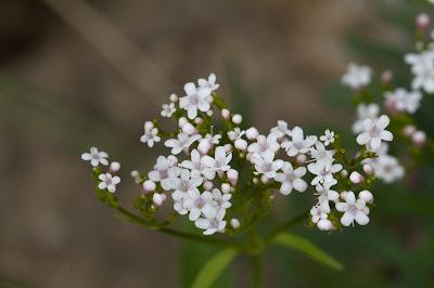 [Caprifoliaceae] Valeriana sp.