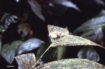 eyelash viper, Costa Rica