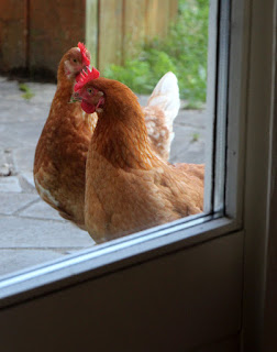 Cheeky poultry trying to get inside