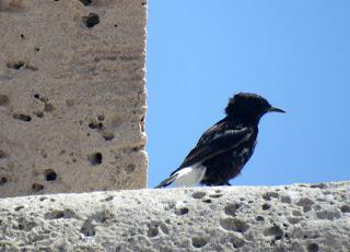 Collalba negra en el Parque Natural de Cabo de Gata-Níjar