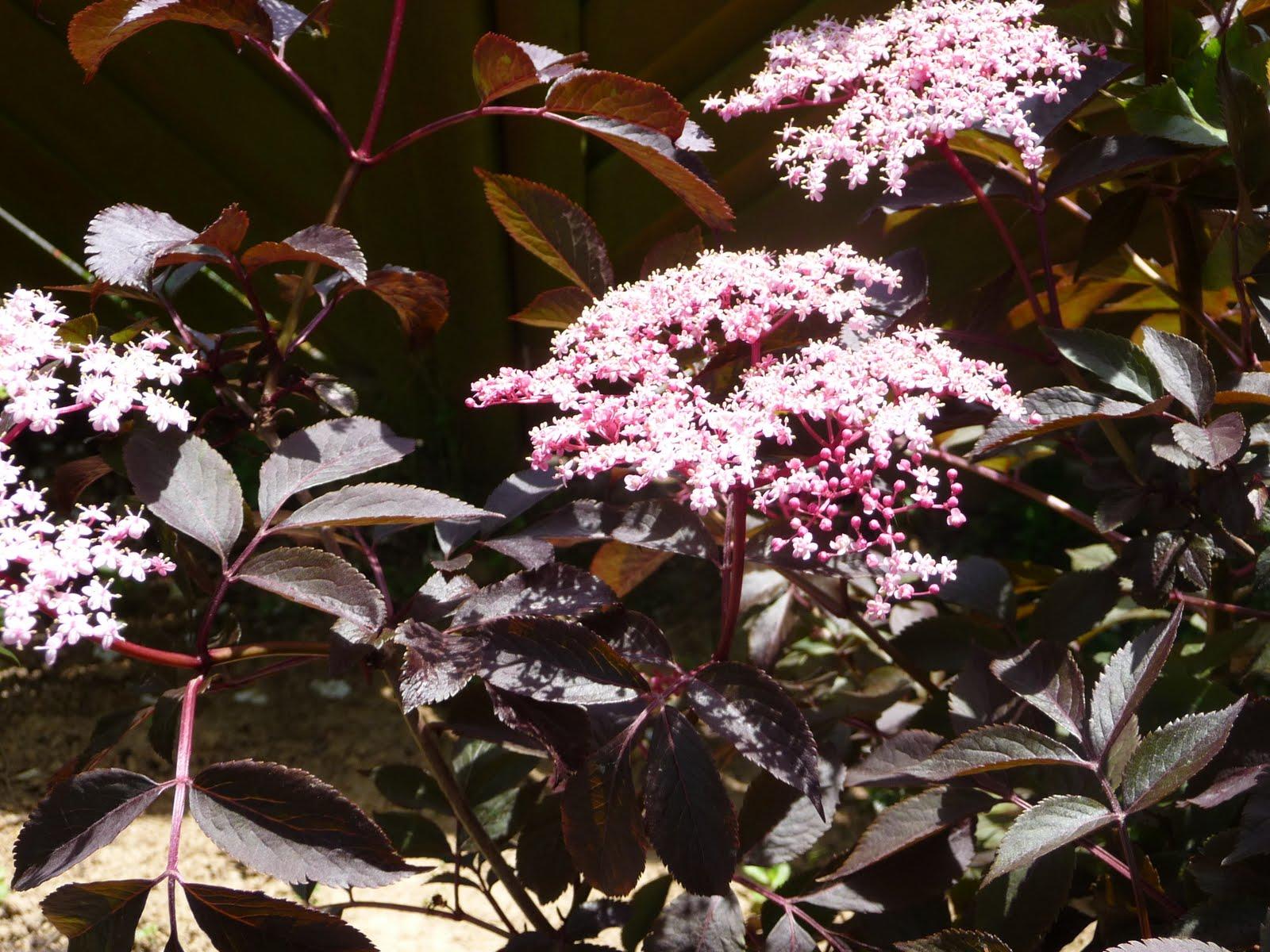 Arbuste Nain Persistant Plein Soleil ma terre de bruyère: pourpre, purpurea ou purple .