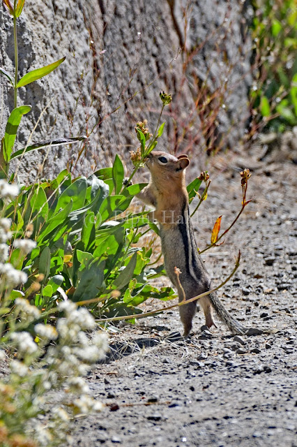 Chipmunk Inspecting Flowers for edible seeds