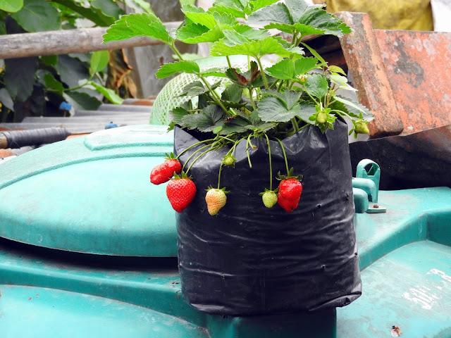 Strawberries in Makaibari | Makaibari, Kurseong (Darjeeling) - West Bengal, India