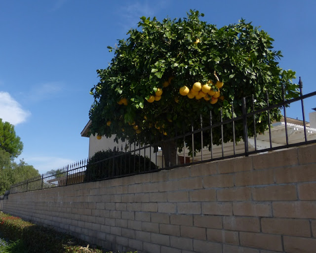grapefruit tree fence