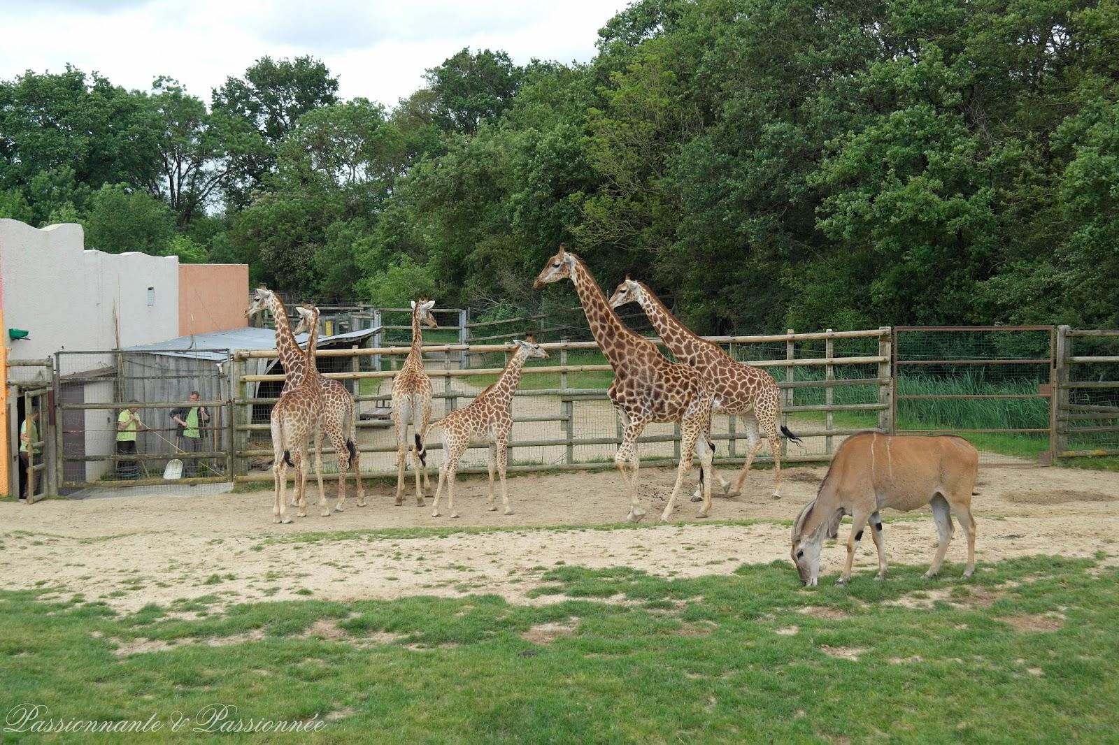 Les girafes chez planète sauvage