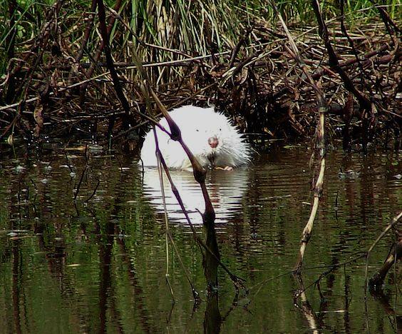 Muskrat | A-Z List of 125 Rare Albino Animals [Pics]