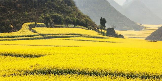 Cánh đồng hoa cải ở Trung Quốc
