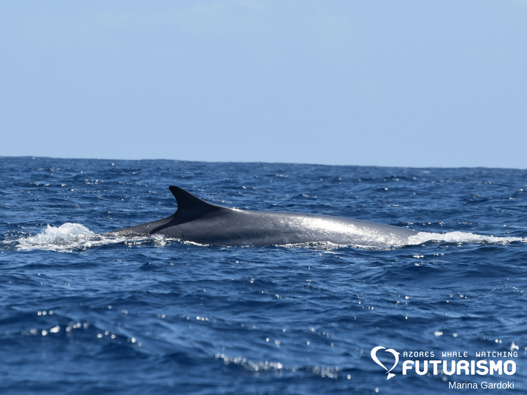 azores whale watching futurismo the 10th species sei whale and