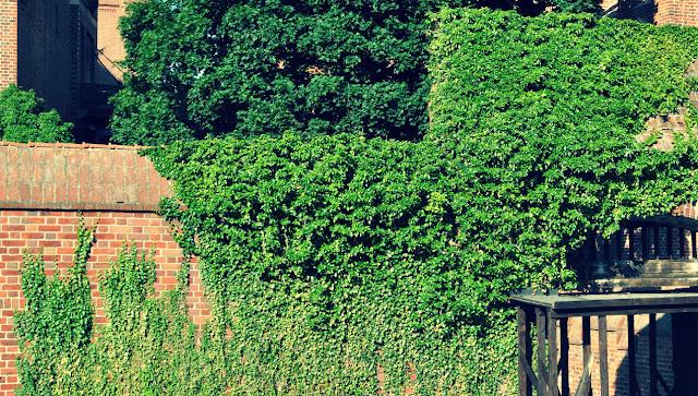 Cara Merawat Tanaman English Ivy