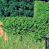 Cara Merawat Tanaman English Ivy Di Halaman Rumah