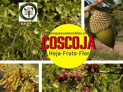 Coscoja,Quercus coccifera, imagen del Fruto ( bellota), Flor y Hoja