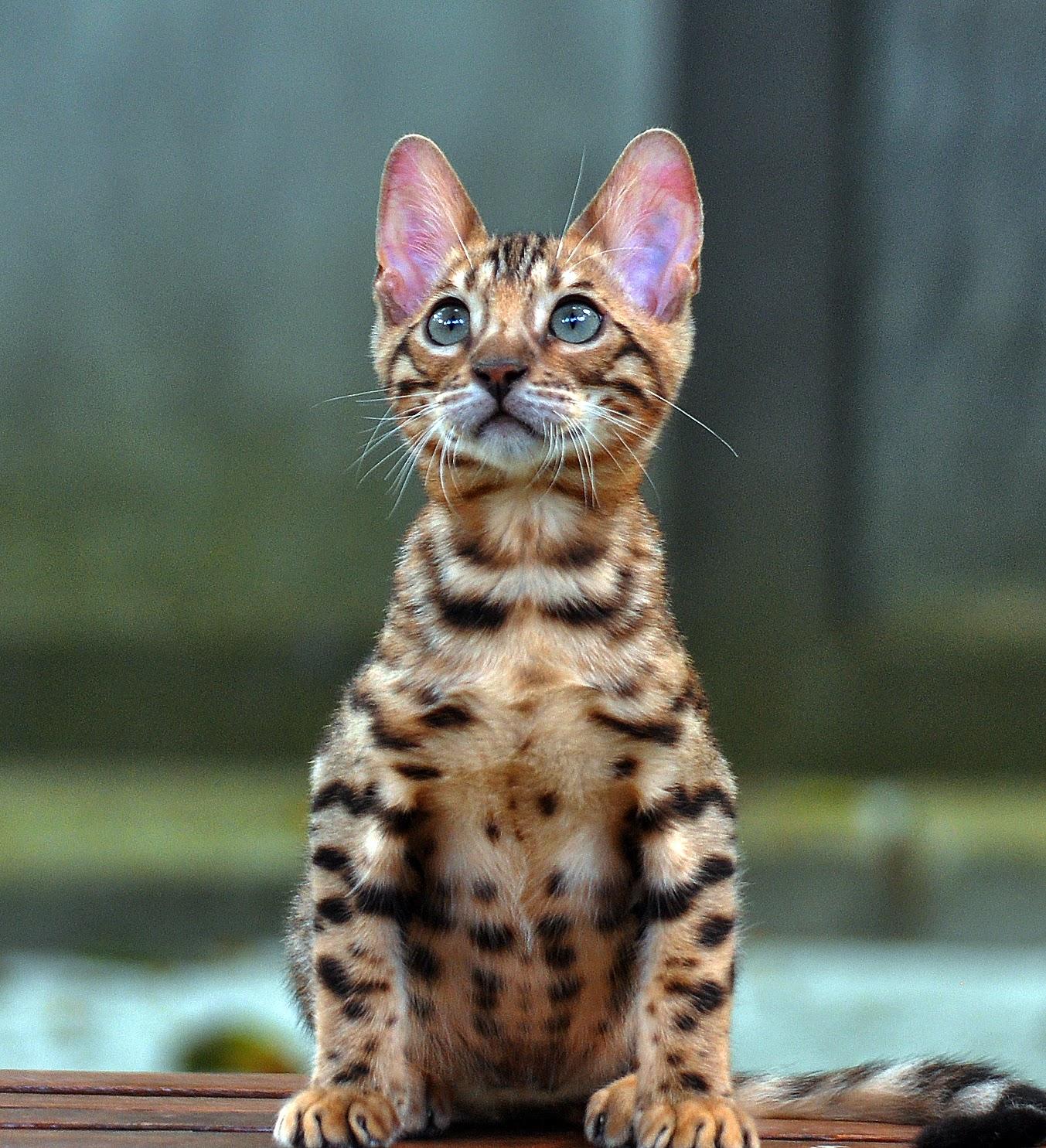 Gambar Kucing Ras godean.web.id