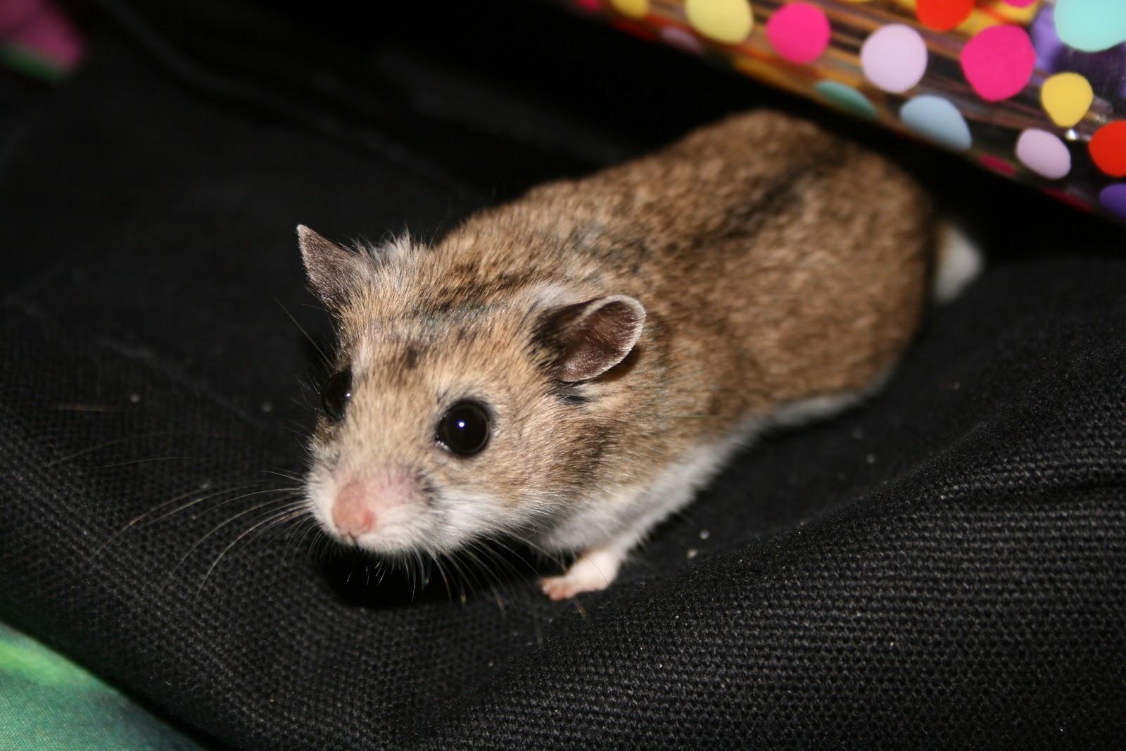 Asian hamsters