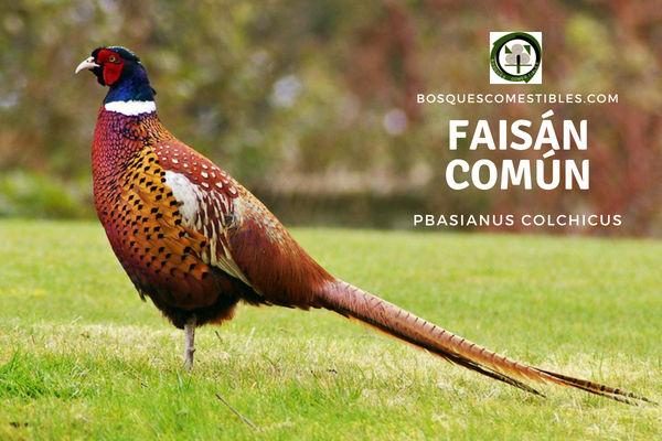 Faisán Común, Pbasianus colchicus, ave que fue introducida en Europa hace más de 2000 años por Grecia.