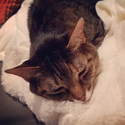 image of Sophie the Torbie Cat asleep on a white blanket