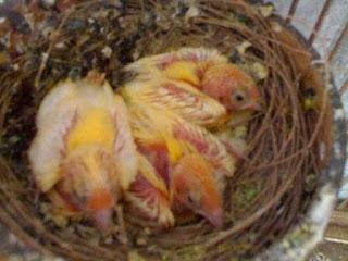 Menjaga Kualitas Pejantan Burung Kenari Agar Salau Prima - Solusi Penangkaran Burung Kenari