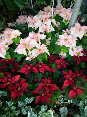 2015 Allan Gardens Conservatory Christmas Flower Show layers red pink while poinsettias by garden muses-not another Toronto gardening blog