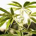 The US Finally Admits Cannabis Kills Cancer Cells
