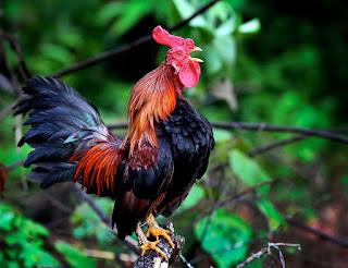 Ayam jantan | Hewan yang Dipercaya Bisa Melihat Hantu