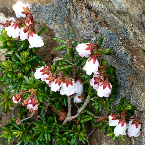 稜線近くの岩稜地帯に咲くツガザクラ