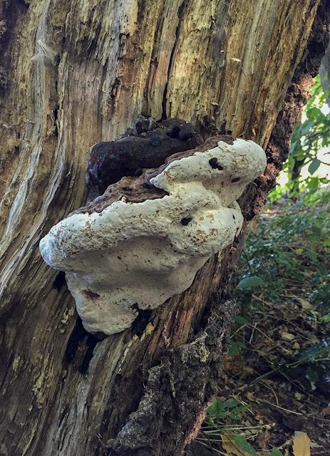 Ganoderma fungus.  Walk around the Hawkwood Estate 20, 30 August 2016.