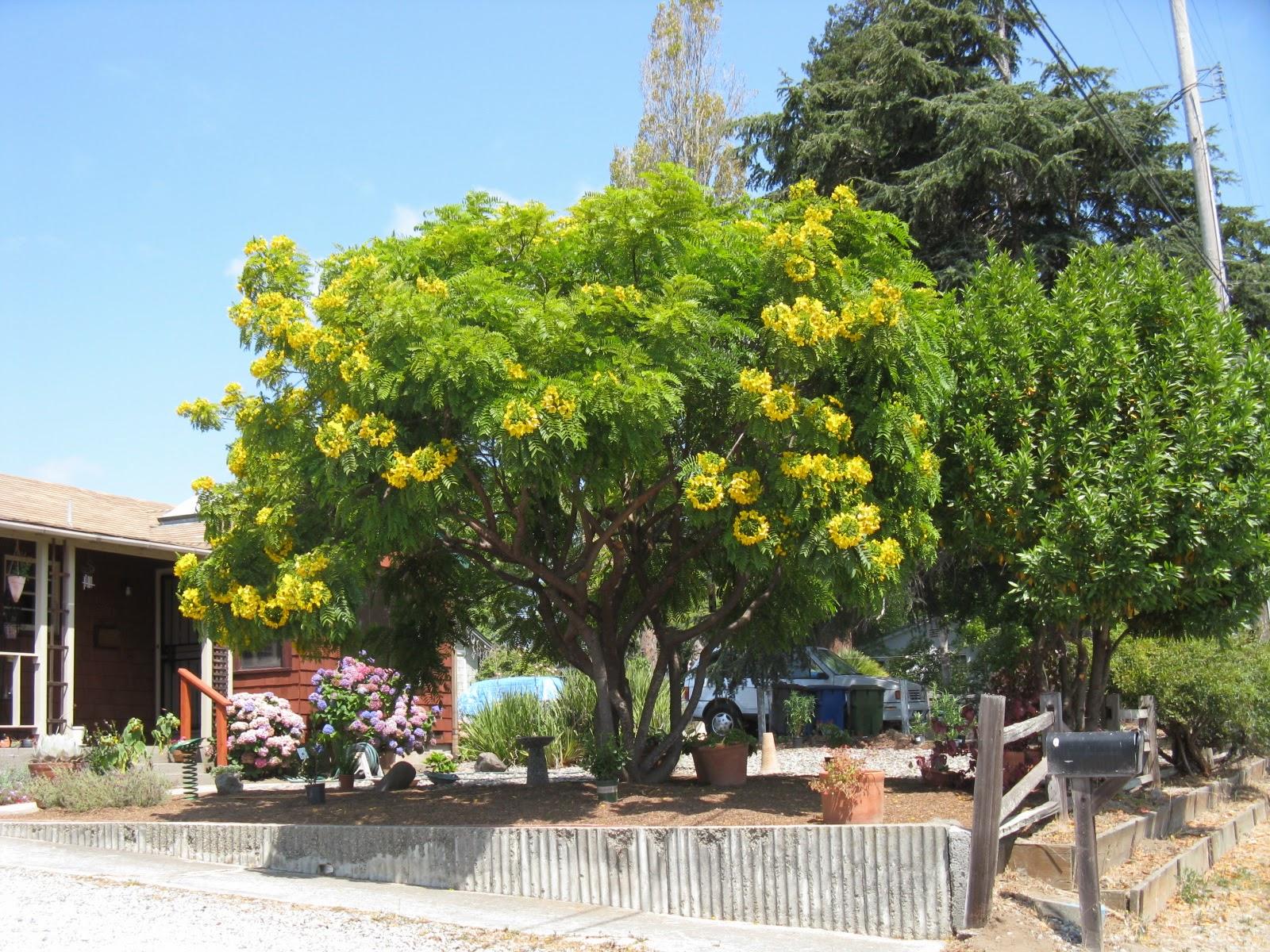 Trees of Santa Cruz County: Cassia leptophylla - Gold ...