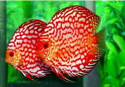 jenis Jenis Ikan Hias Discus Dan Harganya Di Pasaran
