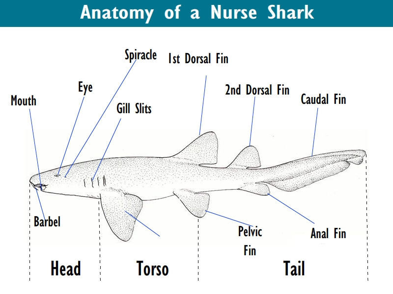Awesome Nurse Sharks Facts | All Five Oceans