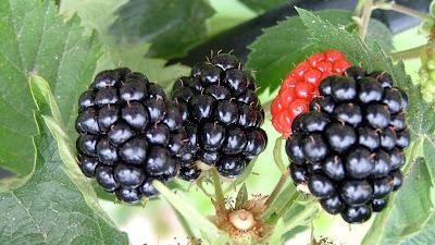 gambar pohon blackberry