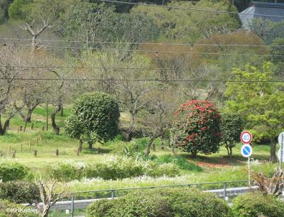 pruned shrubs