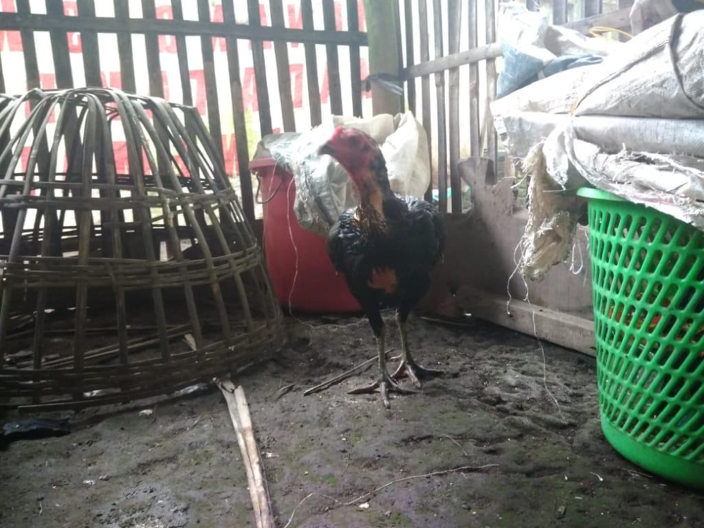 Obat Ampuh Berak Hijau dan Kapur Pada ayam pengalaman pribadi