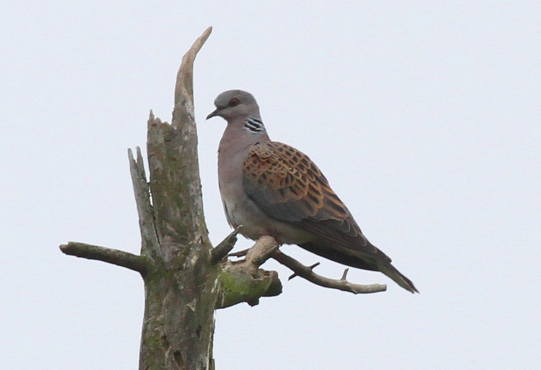 Lapland: Turtle Doves (a Nice End To The Day