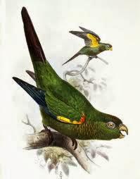 Fiery shouldered parakeet