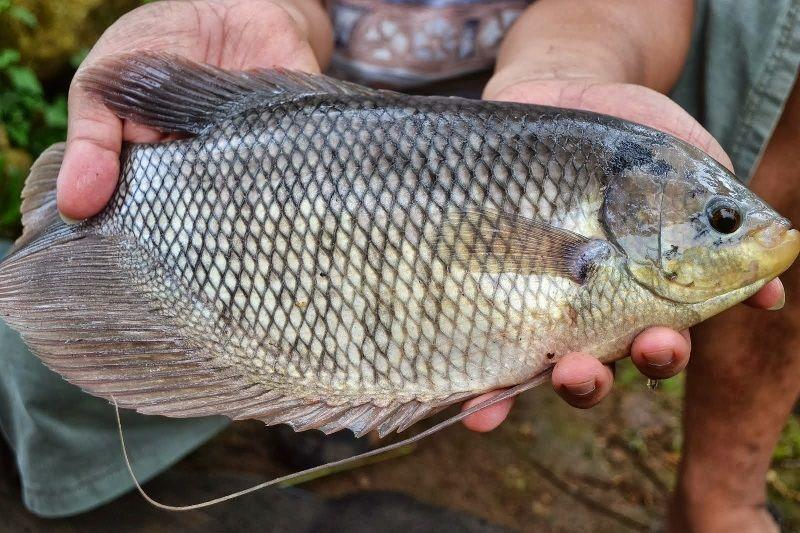 Gambar Ikan gurami bernafas dengan insang dan termasuk jenis ikan bertulang sejati