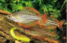 Ikan Hias Air Tawar Terindah Rainbow Lacustris Melanotaenia Macculochi Ogilby