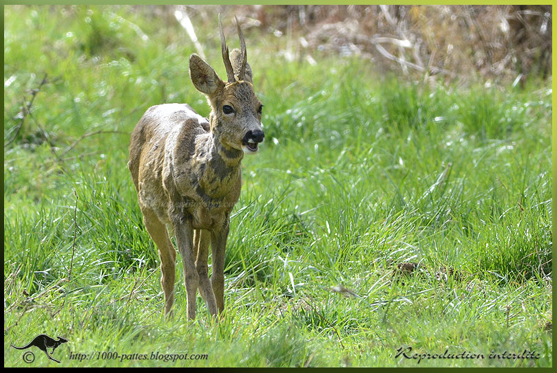 European Roe Deer: spring moult!