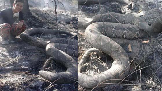 Ular Sawa Maut Terbakar Dalam Kebakaran Hutan