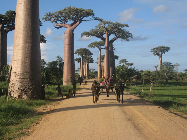 alley baobab ox cart morondava