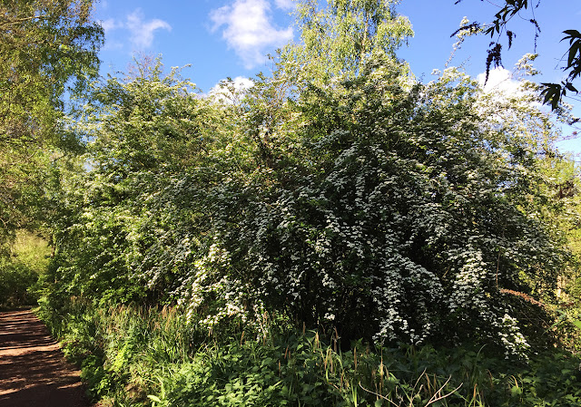 Midland Hawthorn, Crataegus laevigata, and Common Hawthorn, Crataegus monogyna.  Sevenoaks Wildlife Reserve, 25 April 2017.