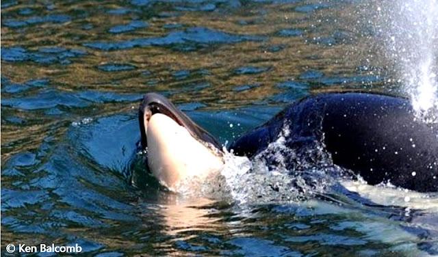 قصة أنثى الحوت, حوت الأوركا, الأم التي حملت جثة وليدها الميت !