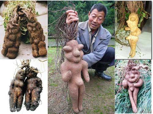 Chinese Fleeceflower