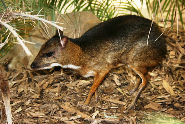 chevrotain hewan mamalia berkuku yang paling kecil di dunia