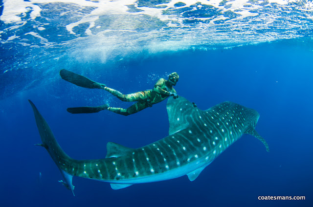 Ascension Island Whale Shark swims and tours