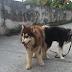 Dịch vụ phối giống chó Alaska đảm bảo đậu chính thức ra mắt