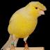 Cara Merawat Burung Kenari yang Sakit Agar Cepat Sehat