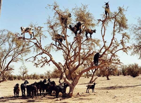 Goats are talented climbers… - Imagine Driving Down The Road And Seeing THIS In The Trees. Seriously, This Is Crazy.