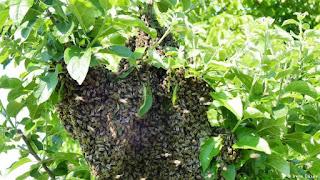 Alemania y el auge de la apicultura urbana 6