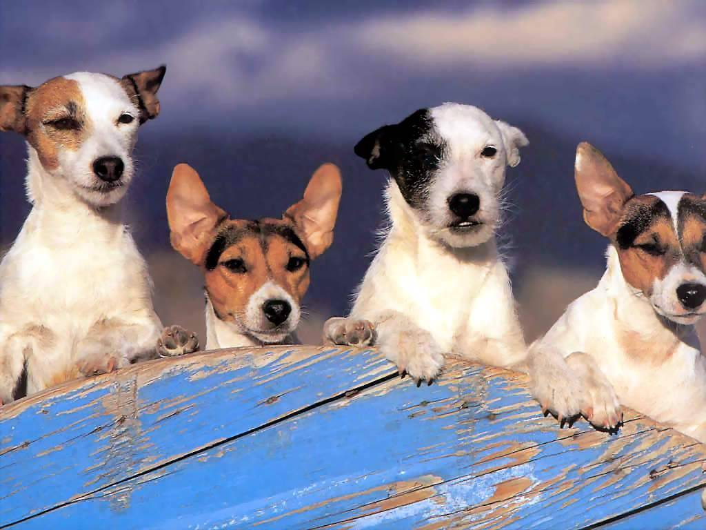 Jack Russell Wallpapers | Animals Library Jack Russell Terrier Wallpaper